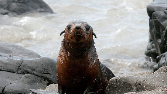 A fur seal in the wild