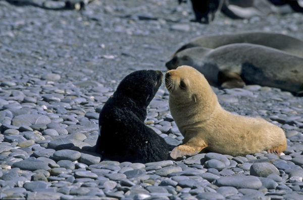 Fur seal pups on South Georgia Island