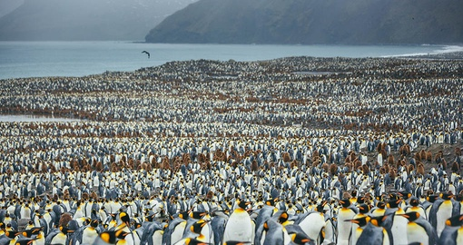A vast penguin colony on South Georgia Island