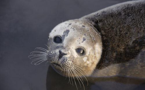A 'True Seal', in the wild