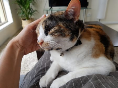 A cat lies on a lap for a pat