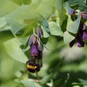 A bumble be on a flower in the garden at Nairn Street Cottage