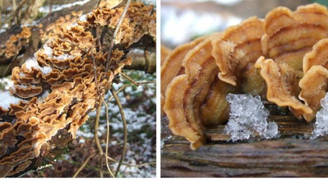 Stereum hirsutum - Hairy Stereum - Bracket fungi