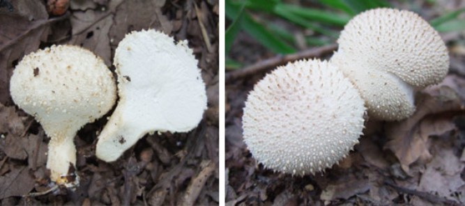 Common Puffball