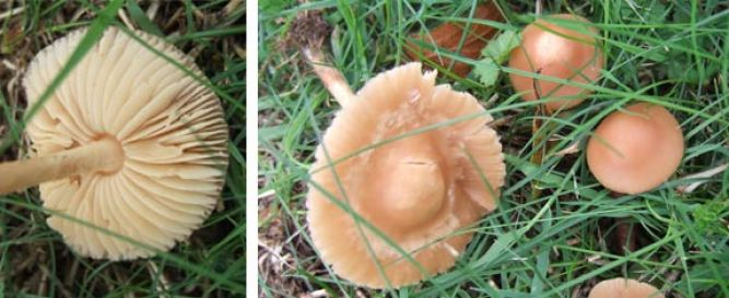 Fairy Ring Champignon - Edible Mushroom