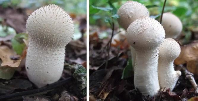 Large white Puffballs