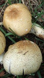 Prince Mushroom - young