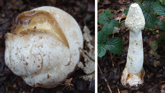 Stinkhorn egg sack and mature stinkhoorn fungus