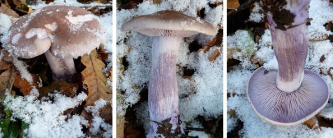 Wood Blewit mushroom in Winter