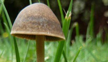 The notorious Magic Mushroom – The Mushroom Diary – UK Wild Mushroom