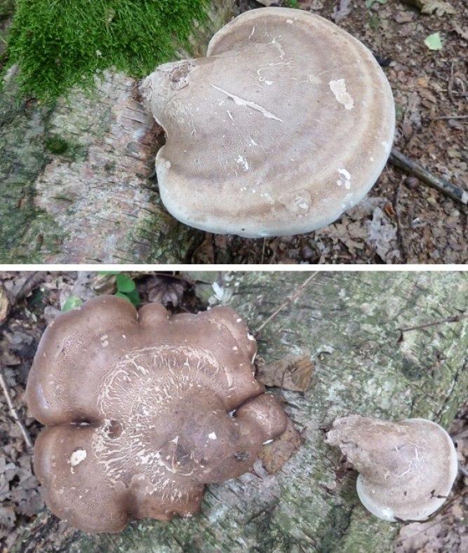 Razorstrop Fungus