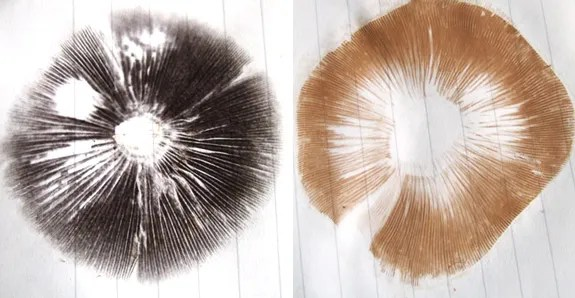 Taking a mushroom spore print for mushroom identification