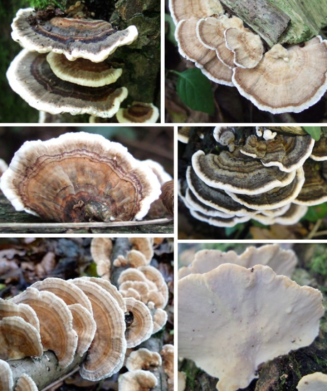 The varied colours of the the small bracket fungus Turkeytail - Trametes versicolor)
