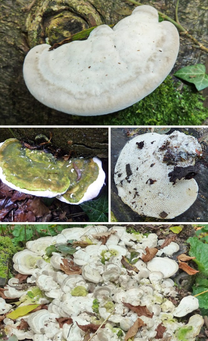 Top: Typical semi-circular bracket shape. Centre left: Green algae on upper surface. Centre right: Underside showing elongated pores. Bottom: Large group of Lumpy Brackets growing on stump