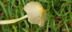 Yellow cap of small mushroom in grass