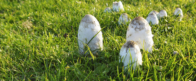 Shaggy Inkcap Mushrooms