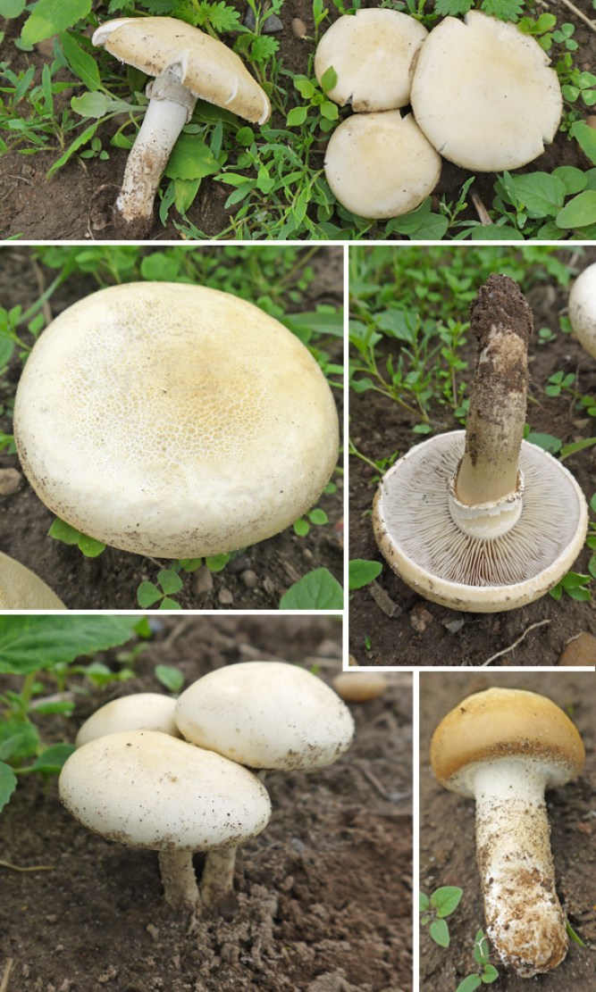 Agrocybe molesta image collection