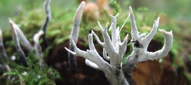 Candlesnuff Fungus