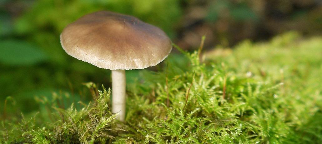 Deer Shield Mushroom