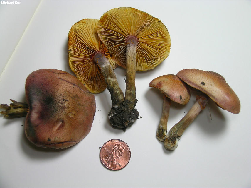 Image result for Gymnopilus luteofolius