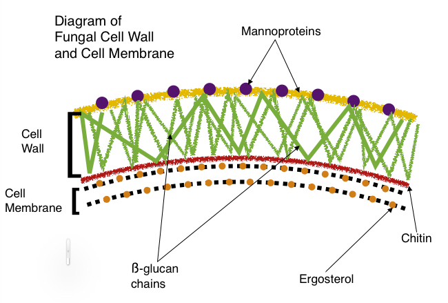 Diagram Of A Fungi Cell Schematic Diagrams