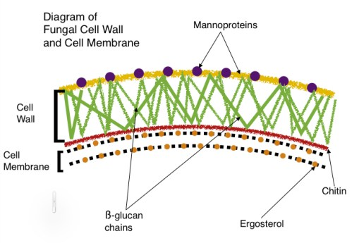Fungal Cell Wall Diag