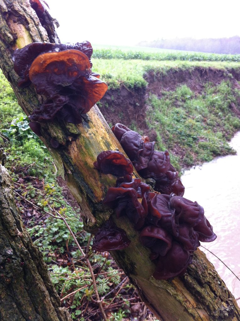 Wood Ear Mushrooms