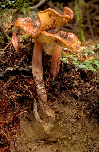 """This Phaeocollybia kauffmannii was collected by Scott, George Barron, and me in Aleuria Glen (named by Harry Thiers) in Jackson State Forest, Mendocino County, California. This photo (the book cover) illustrates the long pseudorhiza, the slimy cap, and was a miracle of excavation. Scott clawed it out by hand because he'd lost his trowel the day before digging out a clump of P. olivacea in Van Damme State Park. It shows the deep origin of the fruiting body and the tiny primordium was a particular bonus."" - Lorelei Norvell"