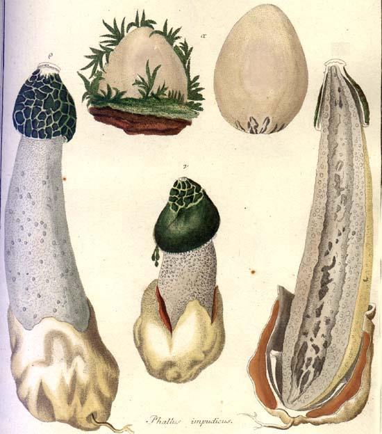 Phallus impudicus  Illustration from Nees von Esenbeck's Das System der Pilze und Schwämme (1815)