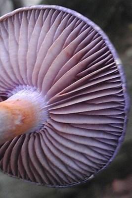 Cortinarius gills