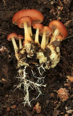 The presence of rhizomorphs can be helpful in identifying some kinds of mushroom.