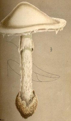 This is what real Amanita virosa looks like: shaggy and pointed. from Mordecai Cubbitt Cooke's Illustrations of British Fungi (1881)