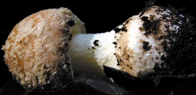 Young Amanita crenulata, showing (sticky-)powdery universal veil remnants on cap and at the base of the stalk