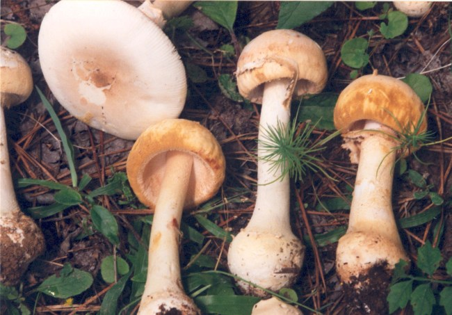 Amanita roseitincta group