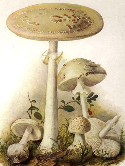 Amanita citrina  Illustration from Eugen Gramberg's Pilze userer Heimat (1936)