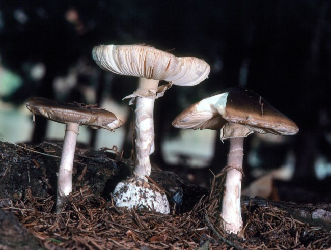 Amanita porphyria Photo by Pam Kaminski