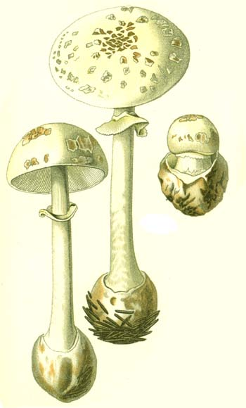 An example of bad mushroom identification in standard German field guides of 100-150 years ago: this is a pretty good illustration of Amanita citrina, labeled Amanita phalloides.