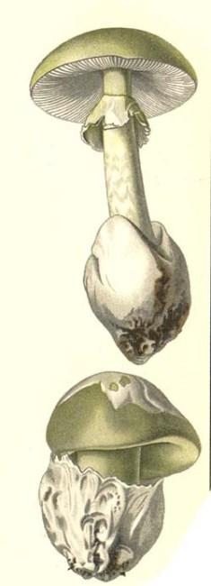 And this, the real Amanita phalloides, is labeled A phalloides var viridis. Both illustrations from Gotthold Hahn Der Pilz-Sammler oder Anleitung zur Kenntnis der wichtigsten Pilze Deutschlands und der angrenzenden Laender (1883)