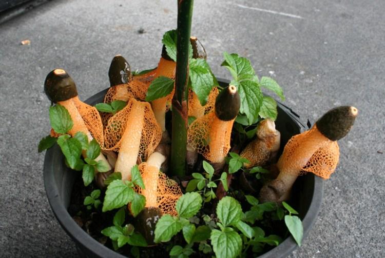 <i>Phallus cinnabarina</i> in plant nursery, Hilo. Photo courtesy Don Hemmes.
