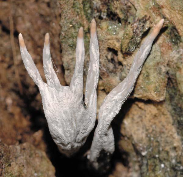 X. hypoxylon resembling a hand. Photo by John Denk.