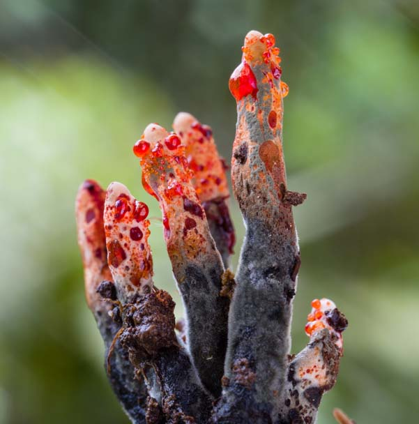 Xylaria globosa, photo Danny Newman