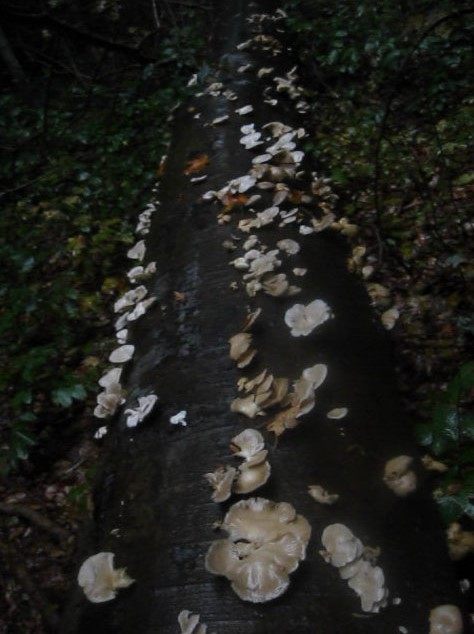 Michigan oyster log