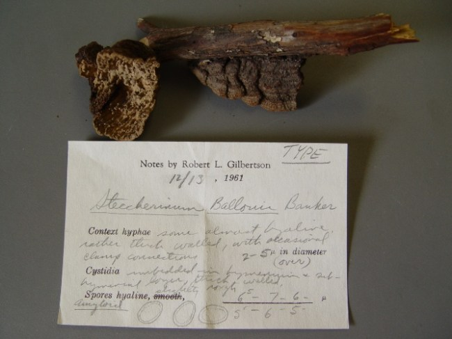 The type specimen of E. ballouii, collected in 1908, at the New York Botanical Gardens