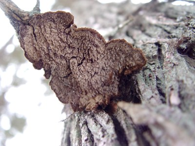 Echinodontium ballouii, showing its stubby spines and often tenuous attachment, along the underside of a branch stub.