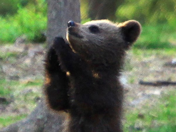 Man Takes Pictures of Bear Cubs playing Like Kids
