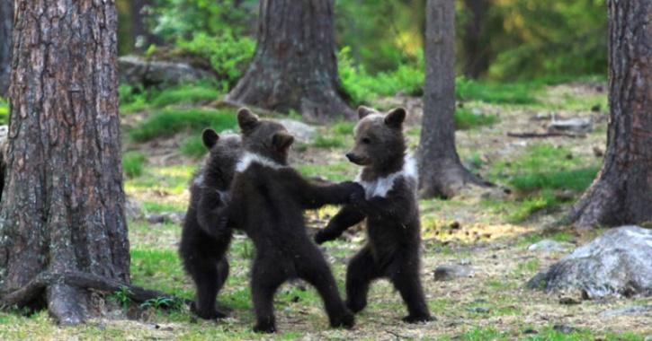 Bears, bears dancing, cubs, cubs dancing, baby bears dancing, baby cubs dancing, animals dancing, music arena gh, lifestyle, Music arena Gh, musicarenagh