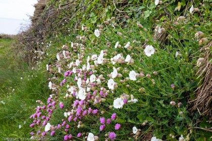 wild flowers by path to Saint Non's spring