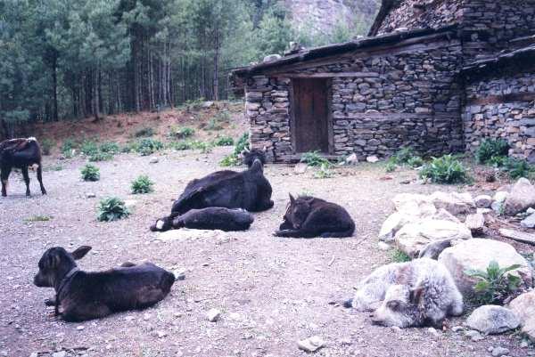 Bratang Cows