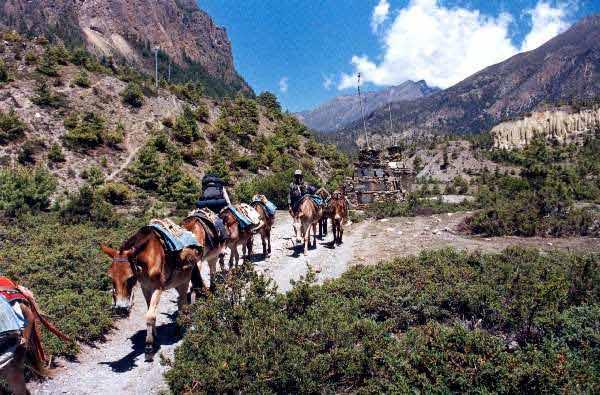 Mules in Pisang