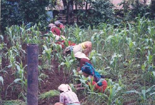 Women in the cornfields